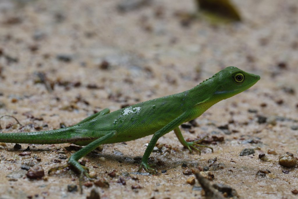 An agamid lizard (Bronchocela cristatella) from Thailand