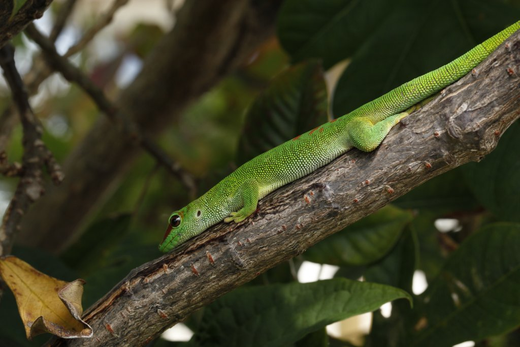 An invasive day gecko (Phelsuma grandis) from Florida