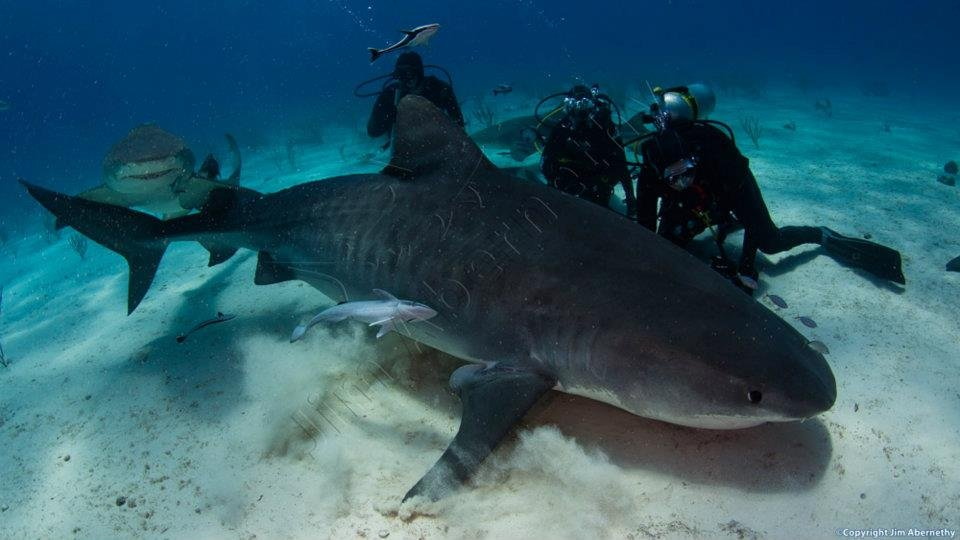 Emma the Tiger shark (Galeocerdo cuvier) in the Bahamas. Image credit: Jim Abernathy
