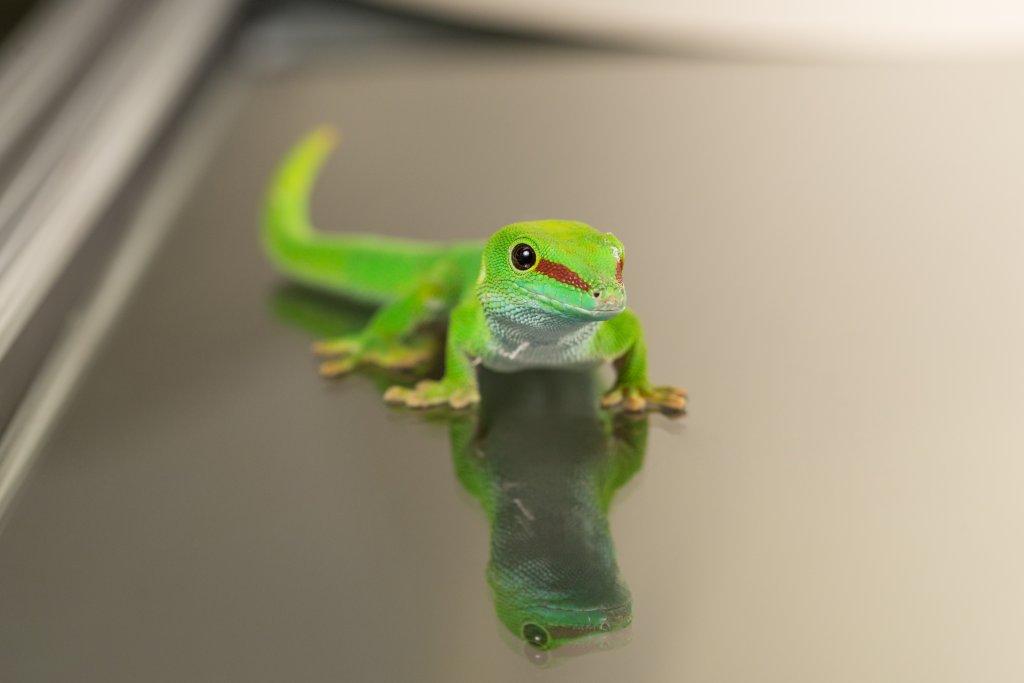 Day Gecko (Phelsuma grandis). Image credit: T. Hoogendyk & A. Slocombe