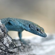 A lacertid lizard from Croatia (Lacerta oxycephela). Image credit: Bieke Vanhooydonck