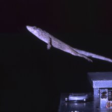 A twig anole (Anolis valencienni) jumping from a force platform. Image credit: Esteban Toro