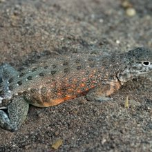 Earless lizard (Cophosaurus) from Arizona