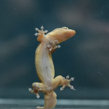 Gehyra mutilata gecko on glass
