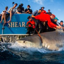 Measuring a large tiger shark (Galeocerdo cuvier) in the Bahamas. Image credit: Jim Abernathy