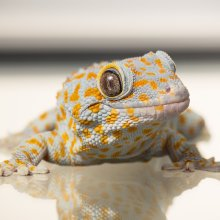 Photo of Tokay Gecko. Image credit: T. Hoogendyk & A. Slocombe