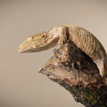 Photo of ...Gecko. Image credit: T. Hoogendyk & A. Slocombe
