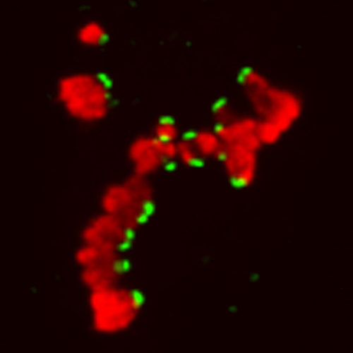 Chromosomes and their attachment sites