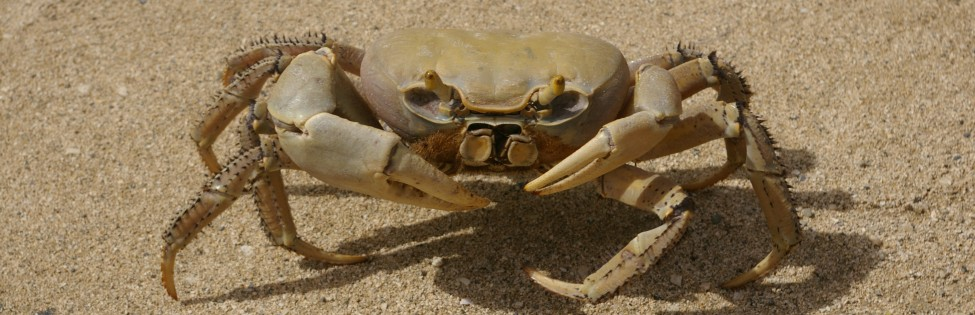 Blue Land Crab in St. Croix